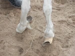 Overgrown Hooves